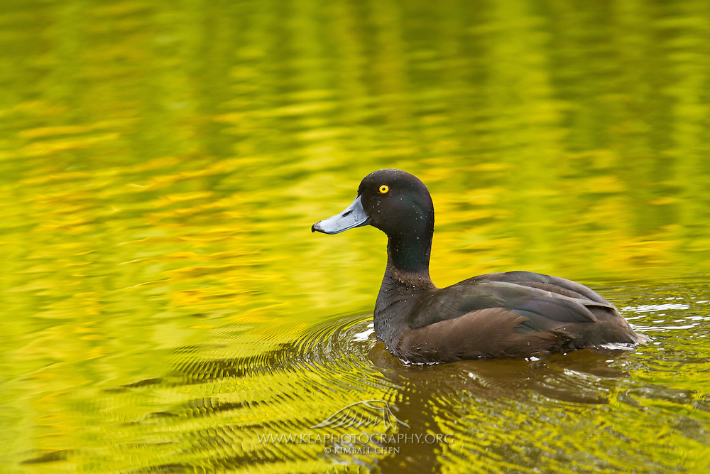 New Zealand Scaup, Southland, New Zealand