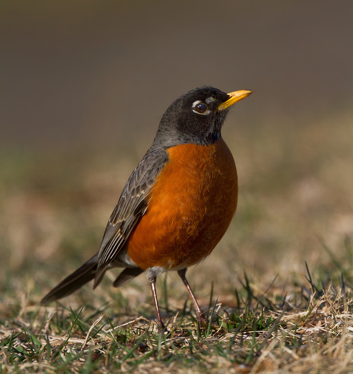 American Robin (Turdus migratorius) is a migratory songbird of the thrush family.  Round Valley, New Jersey