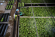 Fresh water pools are used to clean up the packs that have been recently cut. The water can also contain lime juice, which helps in achieving a greener color in the fruit.
