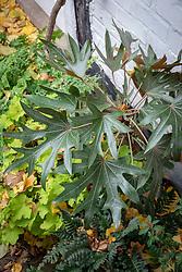 Oreopanax dactylifolius