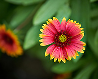 Blanket Flower (Gaillardia). Native wildflower in Florida. Backyard urban garden in St. Petersburg. Image taken with a Fuji X-T2 camera and 100-400 mm OIS lens (ISO 200, 400 mm, f/5.6, 1/125 sec).