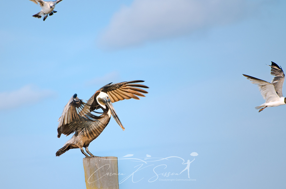 Brown pelicans spread their wings and dance, June 17, 2013, in Bayou La Batre, Alabama. (Photo by Carmen K. Sisson/Cloudybright)