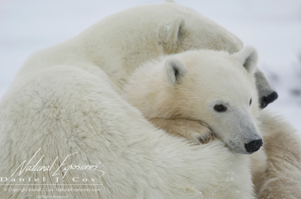 Polar bear (Ursus maritimus) mother and cub snuggle while resting. Churchill, Manitoba. Canada
