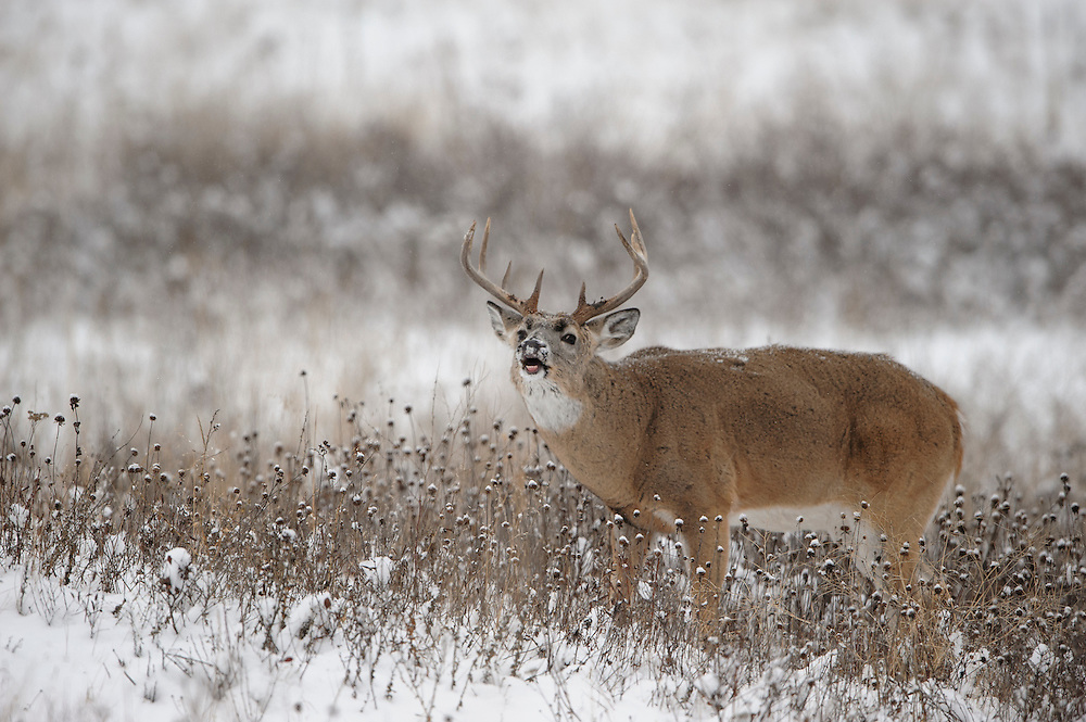 White-tailed Deer Buck in the Rut, Western Montana