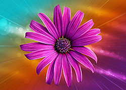 A bold and vibrant macro closeup of a pink and purple Marguerite Daisy against a textured rainbow colored backdrop. A bit of a hippy vibe that screamed a bit of flower power for me.<br />
