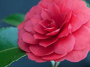 Camellia japonica 'Imbricata Rubra'