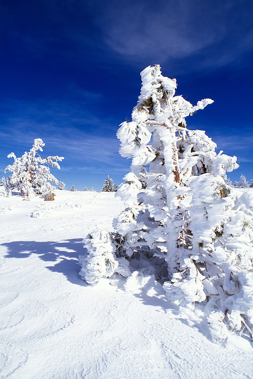Fresh powder and rime ice on Ponderosa pines near the summit of Mount Pinos, Los Padres National Forest, California