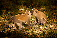 Monkey Kisses - Vervet Monkey - Samburu Game Reserve, Northern Kenya, Africa: This small, black-faced monkey, called the Vervet Monkey, is common in East Africa as it adapts easily to many environments and is widely distributed. Edition on 100 EXP0324