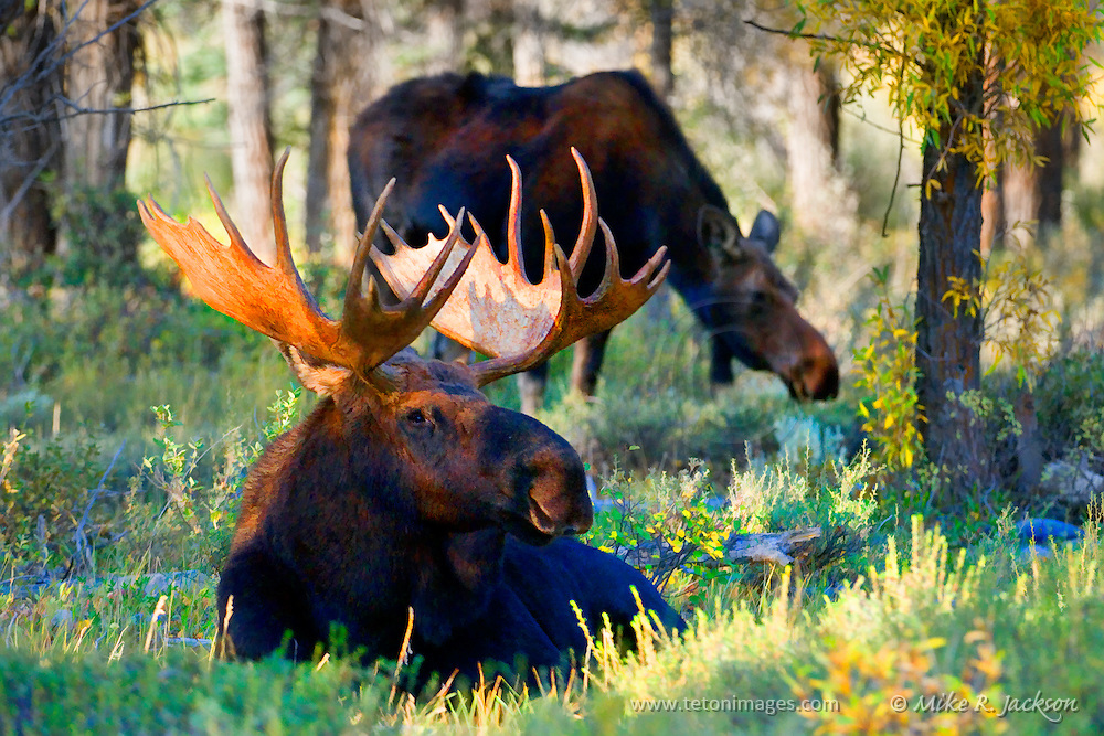 Artistic effects applied to a photograph of a bull and cow moose during the fall rut in Grand Teton National Park. Vivid colors enhanced.