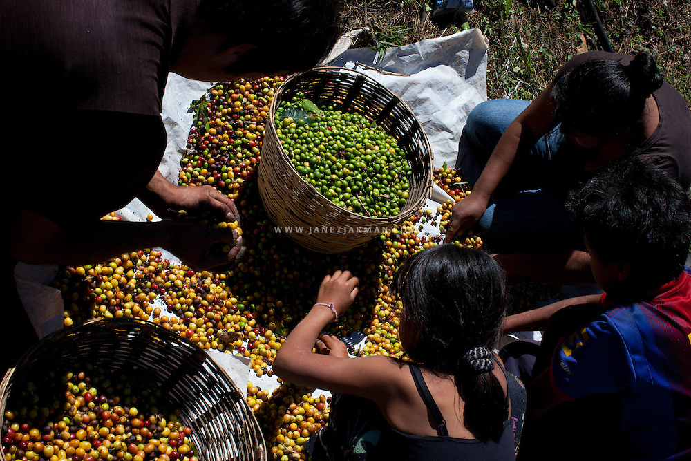 Chiapas, Mexico (Photo © Janet Jarman 2013) - A family from Colombo, Guatemala, sorts through hundreds of coffee cherries separating the unripe green cherries that will undergo different processing into lower quality coffee. The mother (right) complained about abuses on the farm where they previously worked. She said the farm's supervisor refused to provide medical assistance when one of her children fell gravely ill and refused to pay them for the labor they provided. Afraid of having to return to Guatemala, they escaped one night walking until they found work with better conditions on this large farm managed by a fellow Guatemalan.