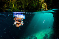 Visitor drifting (Lion's mane jellyfish) into a Jan's Tunnel cave with salps at the Poor Knights Islands. New Zealand