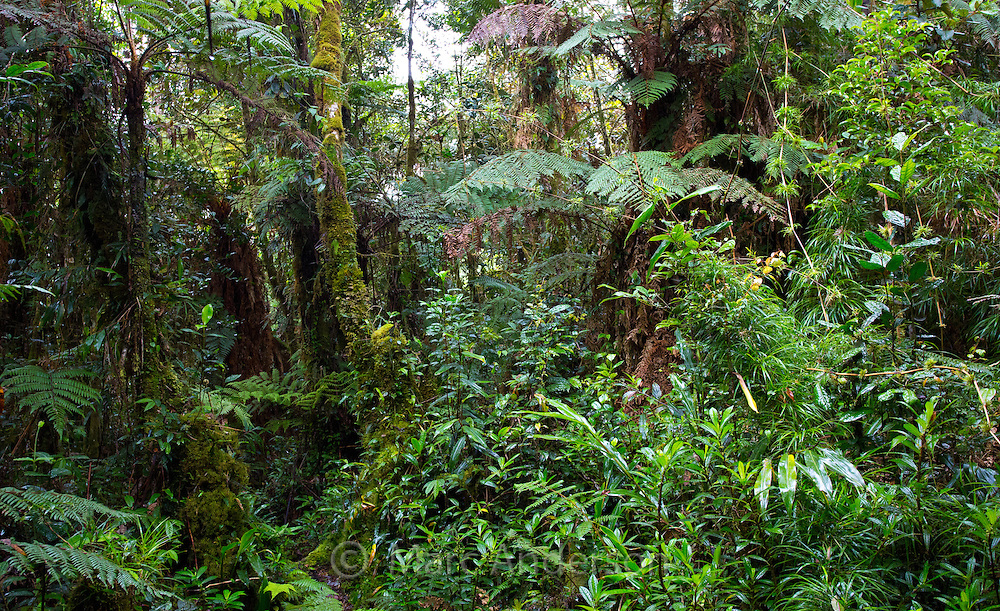 Lush temperate montane rainforest growing in the highlands of Papua New Guinea