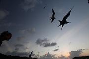 Fernando de Noronha_PE, Brasil.<br /> <br /> Imagens do Parque Nacional Marinho de Fernando de Noronha, Pernambuco. Fragata ou Tesourao (Fregata magnificens) e turista na Baia de Santo Antonio.<br /> <br /> Fernando de Noronha Marine National Park in Pernambuco. The magnificent frigatebird (Fregata magnificens) and tourist Baia de Santo Antonio<br /> <br /> Foto: JOAO MARCOS ROSA / NITRO