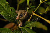 Long-tailed Pygmy-Possum (Cercartetus c.f. caudatus).  New range extention of species known from Central Cordillera.