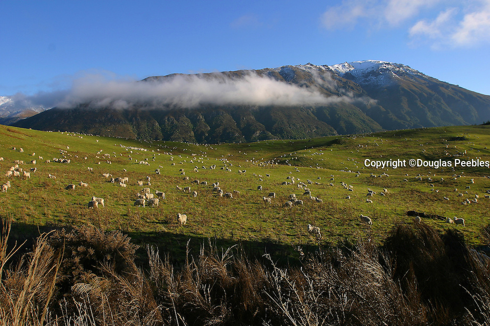 Sheep farm, Queenstown area, South Island, New Zealand
