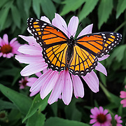 &quot;Stay Lady Stay&quot;<br /> <br /> A lovely butterfly captured just for a second atop a Purple Cone Flower!!<br /> <br /> Nature of this World by Rachel Cohen