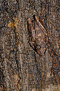 Bark Frog (Scinax garbei) on tree bark after rain - Amazonia, Peru.