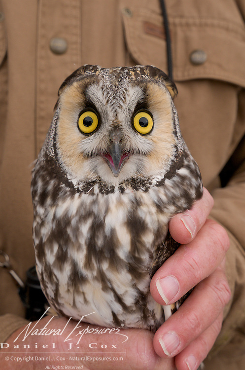 Long-eared owl (Asio otus) captured for brief data collection, soon to be released. Missoula, Montana