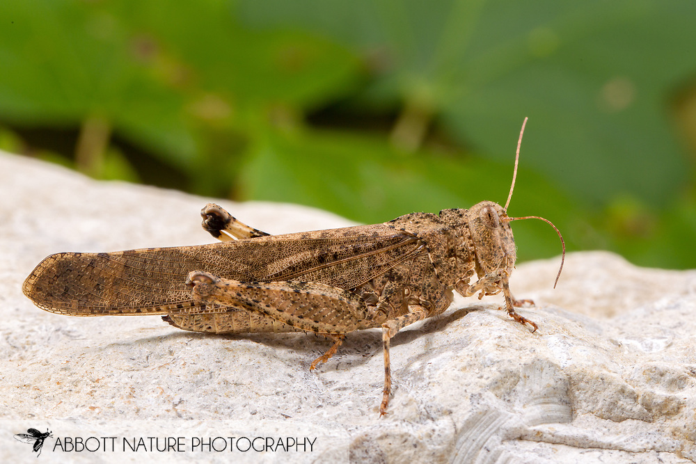 Carolina Grasshopper (Dissosteira carolina)<br /> United States: Alabama: Tuscaloosa Co.<br /> Tulip Tree Springs off Echola Rd.; Elrod<br /> 7-Sep-2016<br /> J.C. Abbott #2865