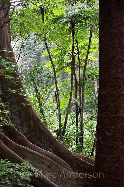 Tall Norfolk Tree Ferns and a strangler fig, Norfolk Island, Australia