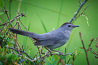 Grey Catbird. Early Summer Nature in New Jersey. Image taken with a Nikon D300 and 600 mm f/4 lens (ISO 400, 600 mm, f/4, 1/200 sec). Raw image processed with Capture One Pro 6, Focus Magic, Nik Define 2, and Photoshop CS5.