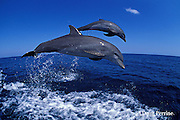 bottlenose dolphins, Tursiops truncatus (c-r)<br /> jump sequence (#2 of 3)<br /> Roatan, Honduras ( Caribbean Sea )