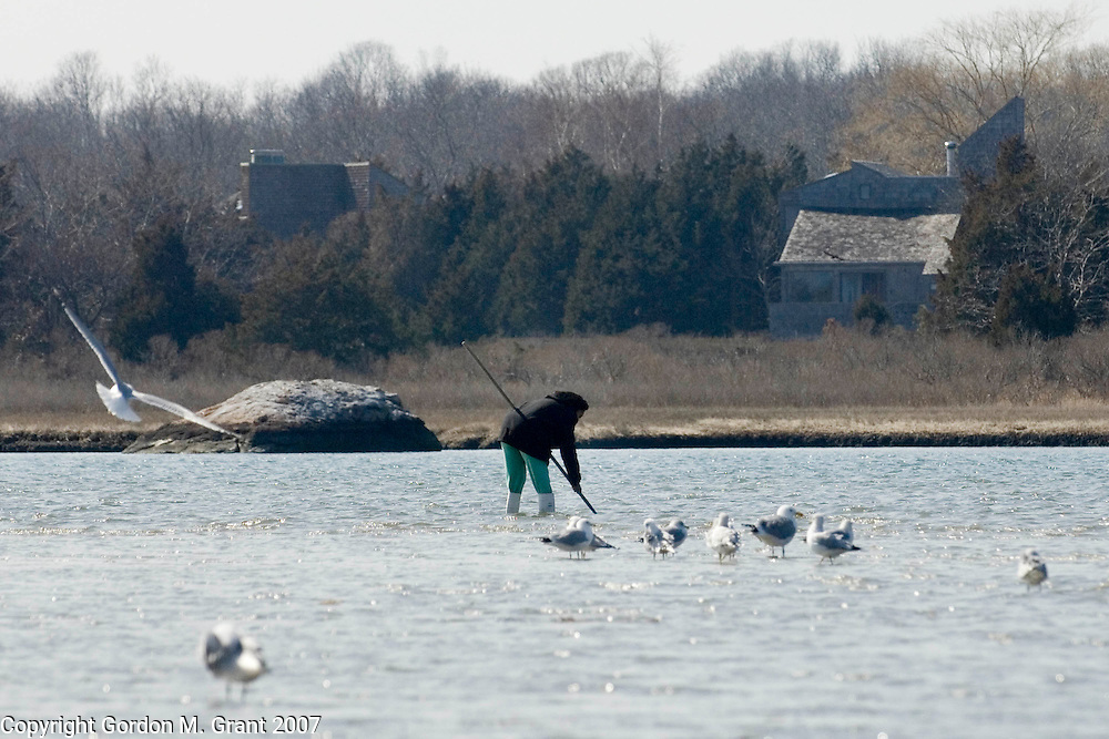 East Hampton, NY - 3/11/07 -   A woman digs for clams in Accabonac Harbor in East Hampton, NY March 11, 2007.     (Photo by Gordon M. Grant)