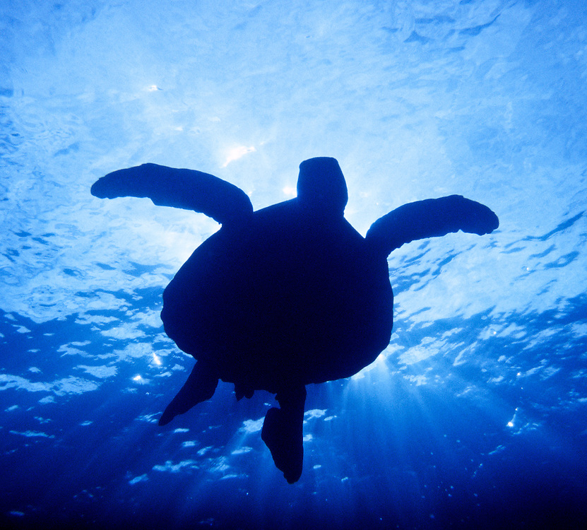 Silhouette of Sea Turtle