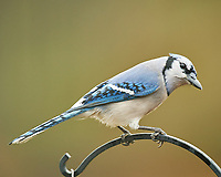 Blue Jay. Image taken with a Nikon D5 camera and 600 mm f/4 VR telephoto lens (ISO 640, 600 mm, f/4, 1/640 sec)