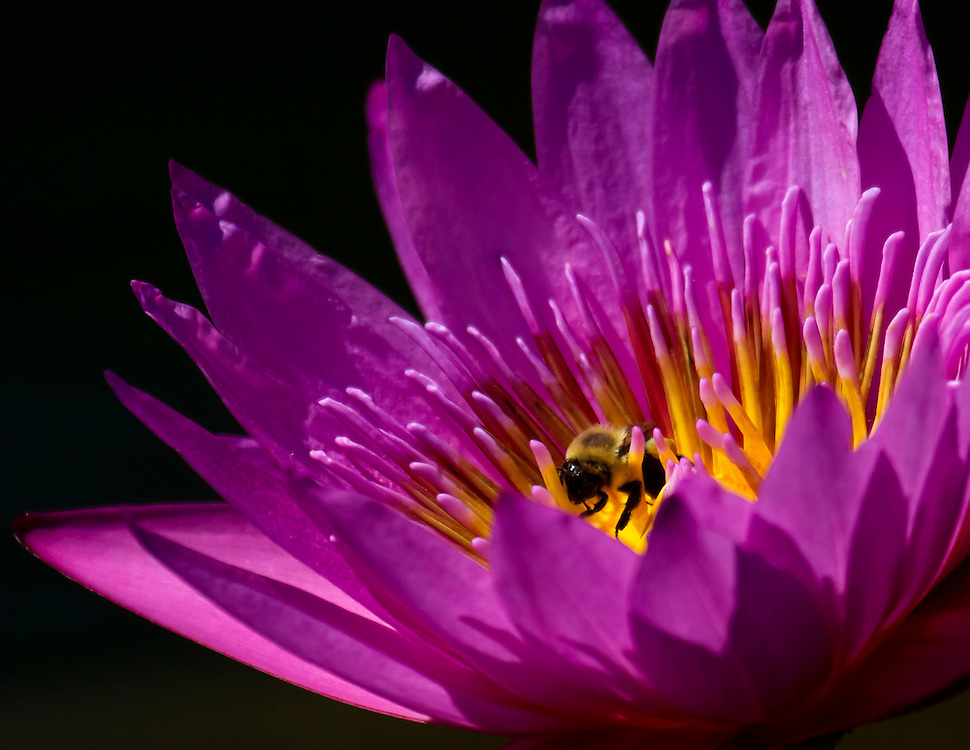 A pretty in pink water lily at the lily pond, and a bee.