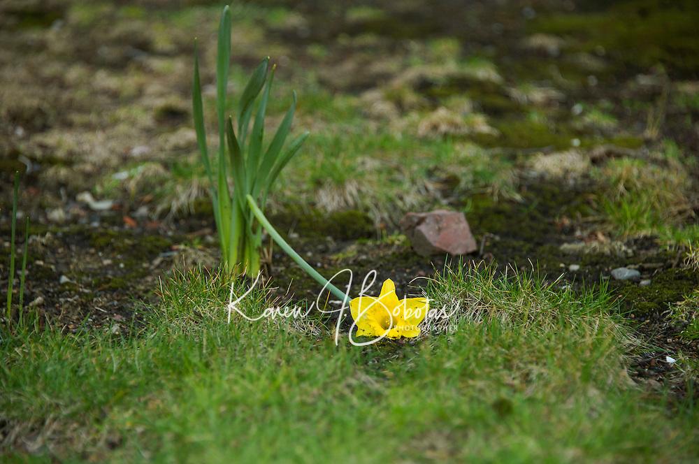 Daffodil outside of Baptist Church Clarendon Street. Boston Walking Tour.  ©2016 Karen Bobotas Photographer