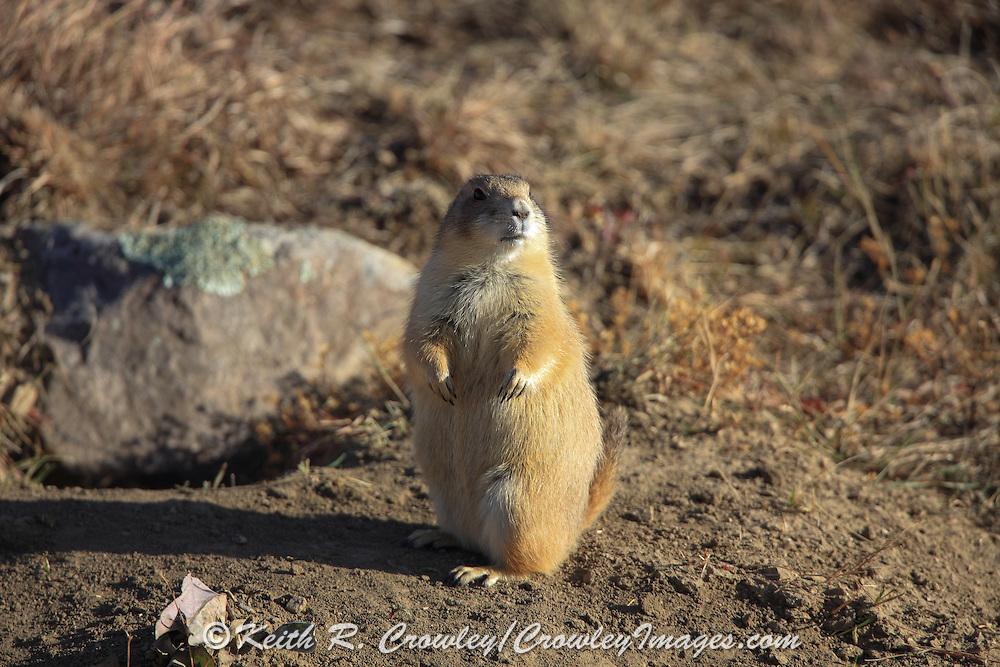 Standing black-tailed prairie dog.