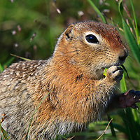 Arctic Ground Squirrel (Spermophilus parryii) Feeding on Grass, Eielson Visitors Center, Denali National Park, AK