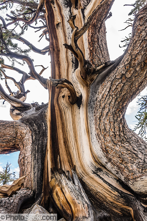 Ancient trees have grown twisted into fascinating shapes in the harsh dry alpine climate at Schulman Grove, in the Ancient Bristlecone Pine Forest, Inyo National Forest, in the White Mountains, near Big Pine, California, USA. The world's oldest known living non-clonal organism was found here in 2013 -- a Great Basin bristlecone pine (Pinus longaeva) 5064 years old, germinated in 3051 BC. It beat the previous record set by the famous nearby 4847-year-old Methuselah Tree sampled around 1957. Starting from the visitor center at 9846 feet, we hiked the Cabin Trail loop, returning along Methuselah Grove Trail (highly recommended, to visit the world's oldest living trees), with views eastward over Nevada's basin-and-range region. An important dendrochronology, based on these trees and dead bristlecone pine samples, extends back to about 9000 BC (with a single gap of about 500 years).