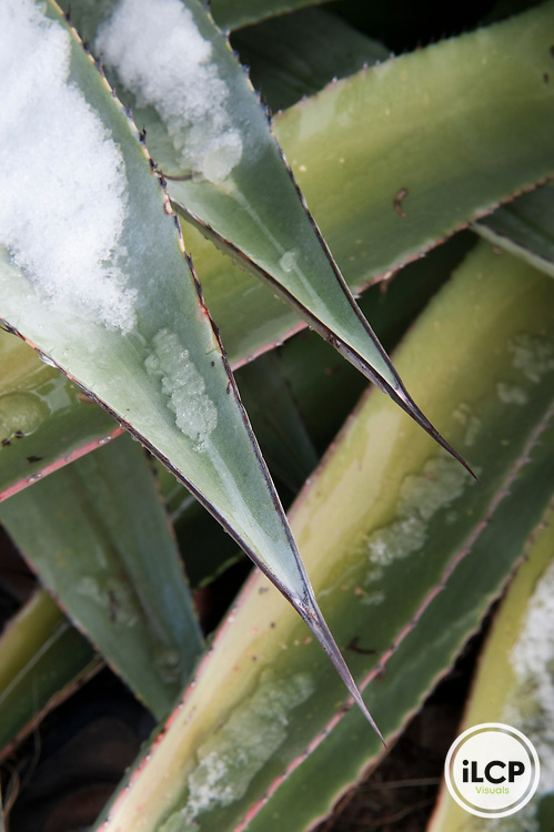 Detail of agave plant.