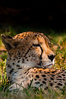 Cheetah, Lion Park, near Johannesburg, South Africa.