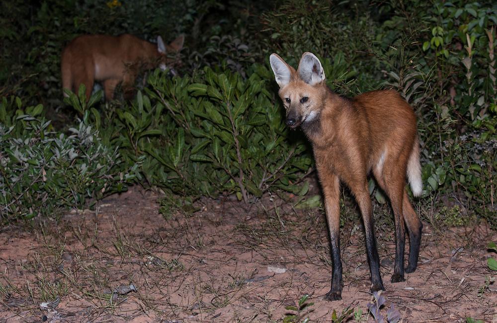 Maned Wolf<br /> Chrysacyon brachyurus<br /> Range: c & ne Brazil, Lowlands of Bolivia, Paraguay & Argentina<br /> (100% WILD)