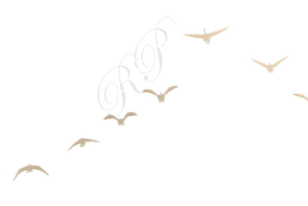 A vee formation of Canada Geese flying over the Bow River in SE Calgary. It was a very bright and hazy day and the geese were almost lost in the haze and the light of the sun behind them.<br /> <br /> ©2018, Sean Phillips<br /> http://www.RiverwoodPhotography.com