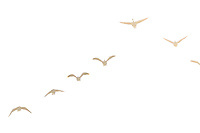A vee formation of Canada Geese flying over the Bow River in SE Calgary. It was a very bright and hazy day and the geese were almost lost in the haze and the light of the sun behind them.<br /> <br /> &copy;2018, Sean Phillips<br /> http://www.RiverwoodPhotography.com