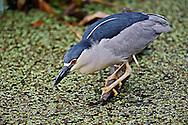 Black-crowned Night Heron fishing, Nycticorax nycticorax, Corkscrew Swamp Sanctuary, near Naples, FL.