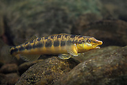 Logperch, Underwater