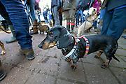 Nederland, Groesbeek, 10-1-2016Teckel Club gaat wandelen. DGFoto 139517  editie NijmegenFoto: Flip Franssen