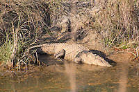 Mugger Crocodile (Crocodylus palustris) on a riverbank in Bardia National Park, Nepal
