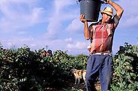 Italie. Sicile. Vendange dans la région de Marsala. //  Grape harvest near Marsala. Sicily. Italy.