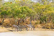 Burchell's zebra (Equus quagga burchellii) is a southern subspecies of the plains zebra. It is named after the British explorer and naturalist William John Burchell.<br /> <br /> Zebra stripes come in different patterns, unique to each individual. They are generally social animals that live in small harems to large herds.