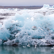 Arctic terns (Sterna paradisaea) feeding in the milky waters surrounding icebergs floating in a glacial lagoon, whilst others roost on the icebergs. Volcanic ash and dust can be seen in the icebergs, a record of volcanic eruptions, with these icebergs having come from the Breidamerkurjokull Glacier. Jokulsarlon, edge of Vatnajokull National Park, Iceland. July.