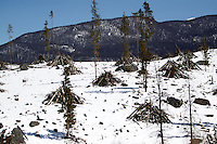 Beetle-killed pine trees that have been clear cut are piled up on national forest land outside Grand Lake, Colorado April 8, 2010.  Colorado has 3 million acres of forest killed by mountain pine beetles.  REUTERS/Rick Wilking (UNITED STATES)