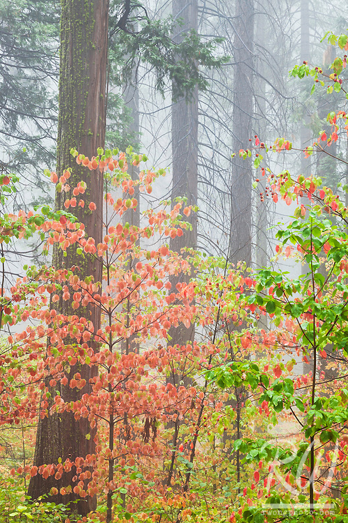 Dogwood Fall Foliage in Fog, Calaveras Big Trees State Park, California