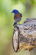 Western Bluebird, Morongo Canyon, California, North America