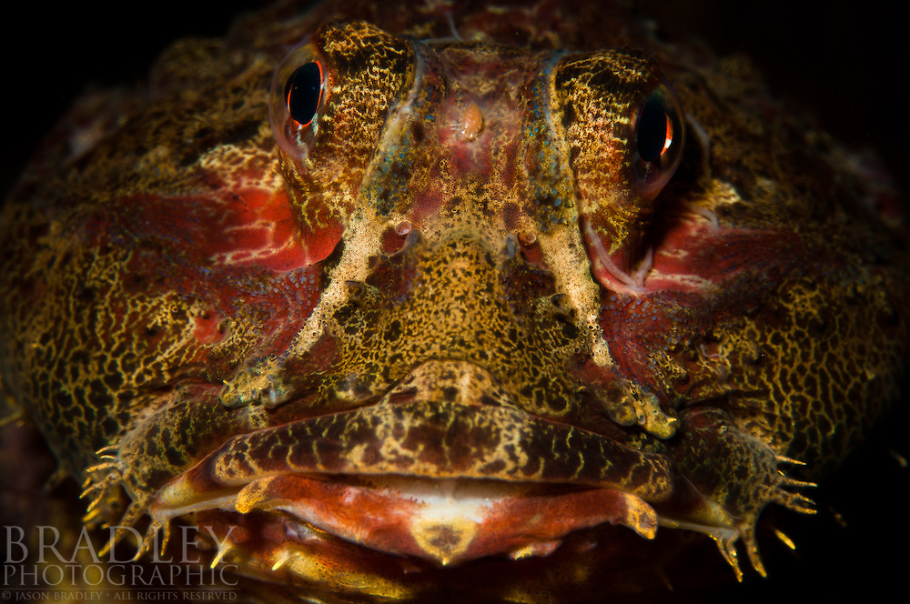The lovely face of a buffalo sculpin shot at dive site All You Can Eat Shrimp in Southeast Alaska